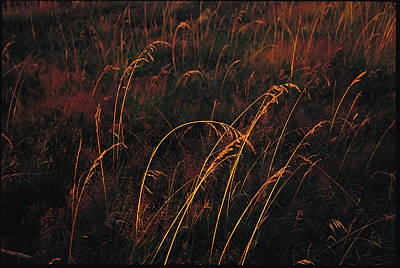 Grasses Glow Golden In Evenings Light Art Print by Raymond Gehman