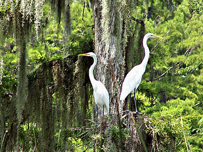 Great White Egrets Art Print