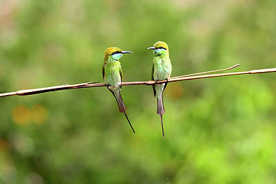 Animal Themes Photograph - Green Bee Eater Couple by Munish Kaushik Photography