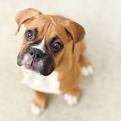 Boxer Dog Photograph - Innocence by Jody Trappe Photography