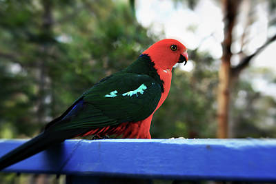 King Parrot Photograph - King Of The Parrots by Douglas Barnard