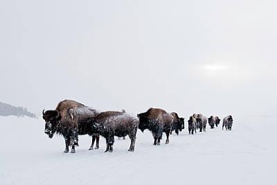 Buffalo Extinction Photograph - Long Brown Line by D Robert Franz