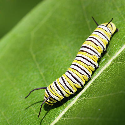 Animal Themes Photograph - Monarch Butterfly Caterpillar by Paul Omernik