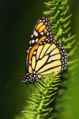 Monarch Butterfly Art Print by The Photography Factory