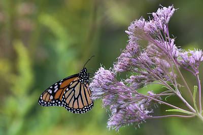 Photograph - Monarch by Michel Legare