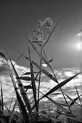 Photograph - Pampas Grass II by Angie Tirado