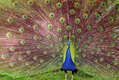 Bright Colors Photograph - Peacock by Carlos Caetano