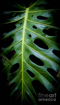 Queen Rights Managed Images - Philodendron Royalty-Free Image by Rich Governali