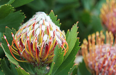 Pincushion Protea Art Print by Neil Overy