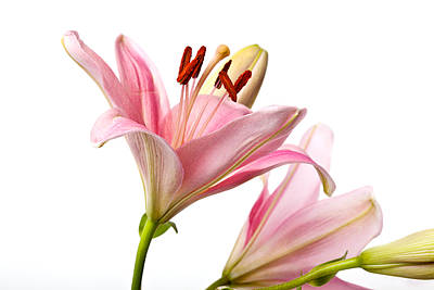 Flower Photograph - Pink Lilies 03 by Nailia Schwarz