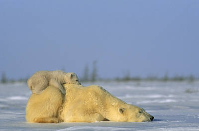 Polar Bear And Her Cub Resting Print by Norbert Rosing