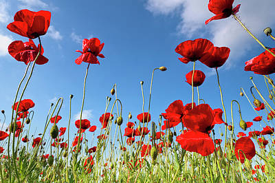 Poppies Season Art Print