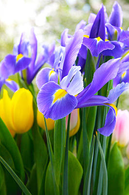 Purple Iris On A Spring Day Art Print by Daphne Sampson
