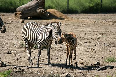 Photograph - Rare Brown Baby Zebra 4 - Mother And Child Reunion by David Dunham