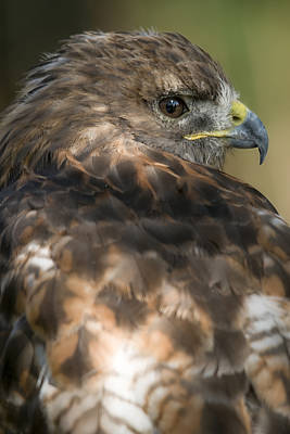 Photograph - Red-tailed Hawk by Michel Legare