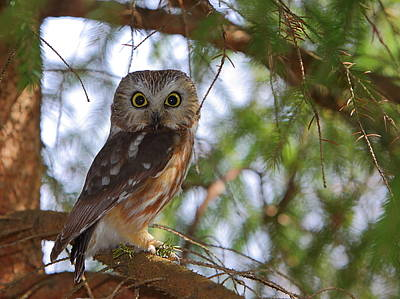 Saw-whet Owl Art Print