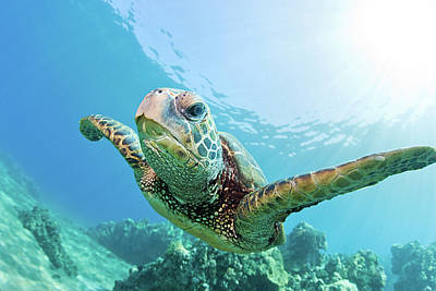 Green Sea Turtle Photograph - Sea Turtle, Hawaii by M.M. Sweet