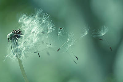 Focus On Foreground Photograph - Seeds Of Dandelion by Florence Barreau