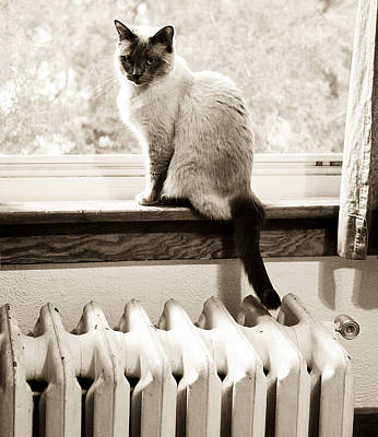 Bath Time Rights Managed Images - Siamese Cat at Window Royalty-Free Image by Marilyn Hunt