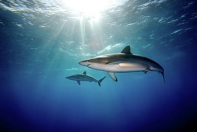 Animal Themes Photograph - Silky Sharks by James R.D. Scott