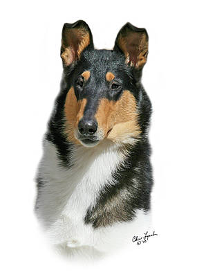 Smooth Collie Original by Chris Lynch