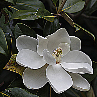 Southern Magnolia Art Print by Sandi Blood