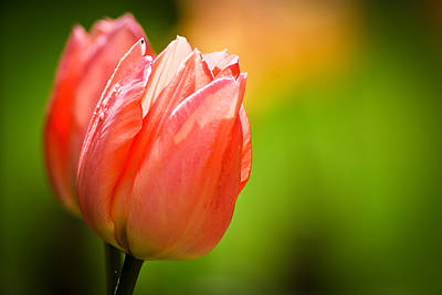 Photograph - Spring Tulips by Kimberly Deverell