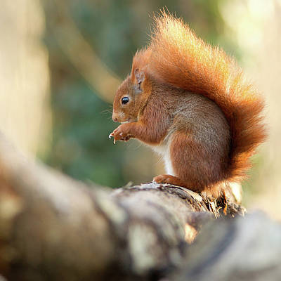 Squirrel Photograph - Squirrel In Winter by Cyril Couture @