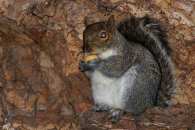 Art Print featuring the photograph Squirrell by Pedro Cardona