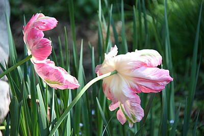 Photograph - Sunkissed Tulips by Jolanta Anna Karolska