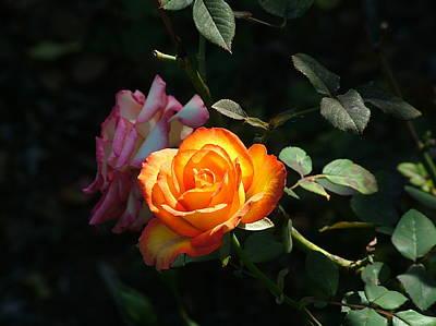Sunlit Rose Original by Arthur Bohlmann
