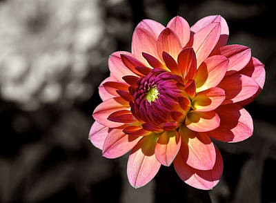 Sunshine Dahlia Art Print