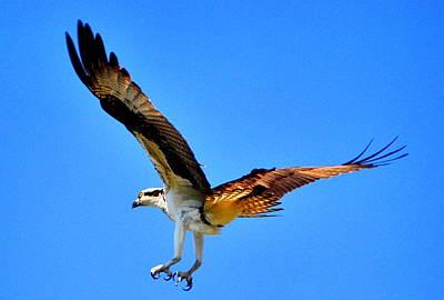 Osprey Florida Photograph - Talon Soar by Emily Stauring