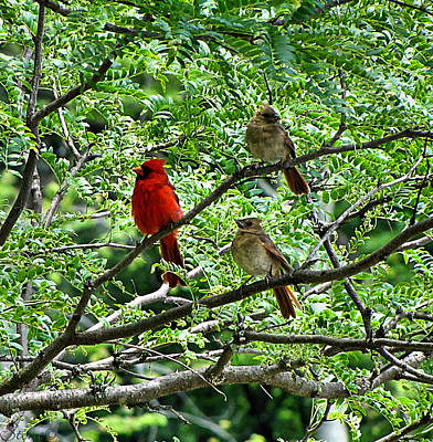 Photograph - The Cardinals by September  Stone