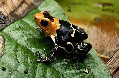 This Is The Poison Frog Dendrobates Art Print