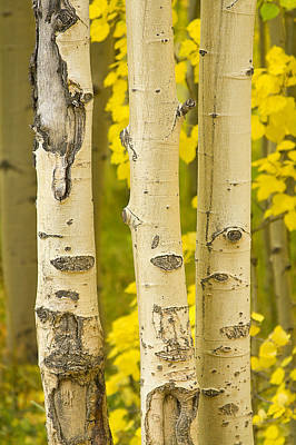 Three Autumn Aspens Art Print