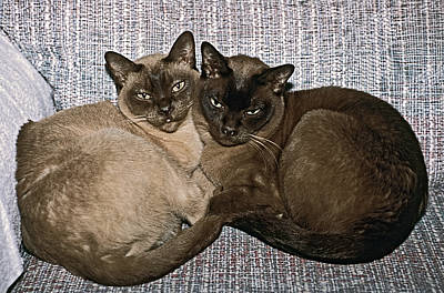 Art Print featuring the photograph Tonkinese Pals by Sally Weigand