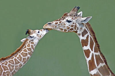 Giraffe Wall Art - Photograph - Two Giraffes by images by Nancy Chow