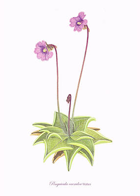 Detailed Botanical Painting - Violet Butterwort by Scott Bennett