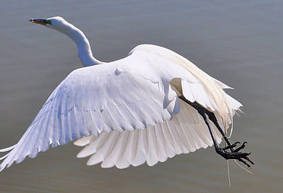 Bird Photograph - White N Flight by Emily Stauring