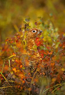 Alaska Wildlife Photograph - Willow Ptarmigan In Fall Foliage by Michael S. Quinton