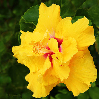 Photograph - Yellow Double Hibiscus by Kerri Ligatich