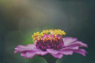 Royalty-Free and Rights-Managed Images - Zinnia by Scott Norris