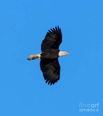 Steven Krull Royalty-Free and Rights-Managed Images - Bald Eagle Stretching Her Wings by Steven Krull