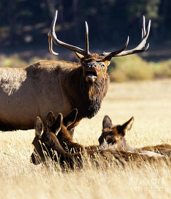 Steven Krull Royalty-Free and Rights-Managed Images - Elk Bugling with Three Cows by Steven Krull