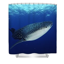 Whale Shark Rhincodon Typus Shower Curtain by Jurgen Freund