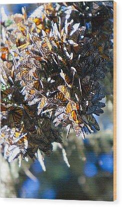Clustering Monarch Butterflies Wood Print by Patricia Sanders