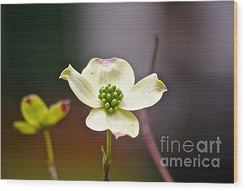Wood Print featuring the photograph Dogwood by Eve Spring