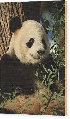 A Close View Of A Panda Wood Print by Taylor S. Kennedy