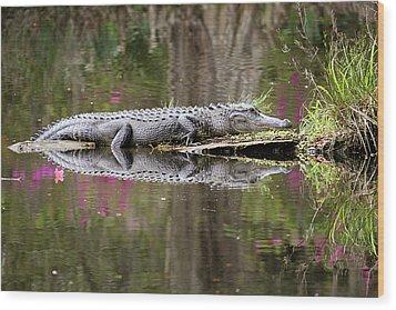 Alligator Sunbathing Wood Print by Daniela Duncan